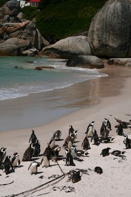 cape town, picture 3: beach penguins. click on the image to go to the next picture